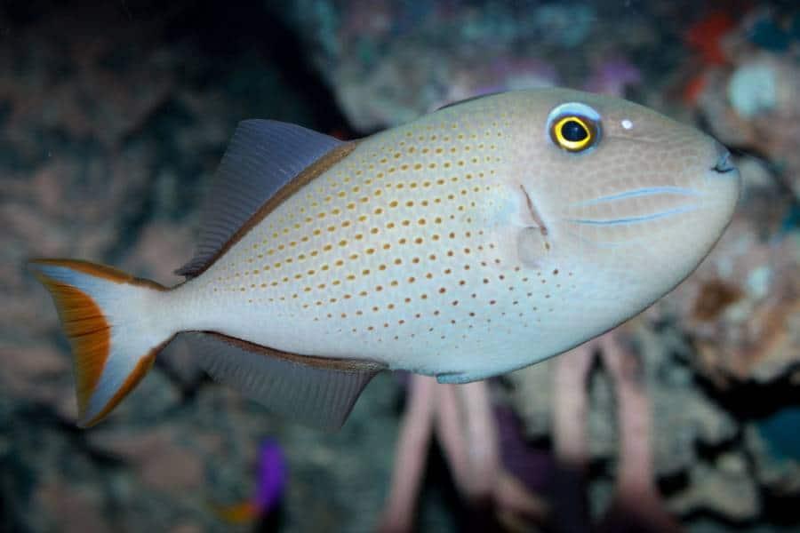 sargassum triggerfish aquarium tales
