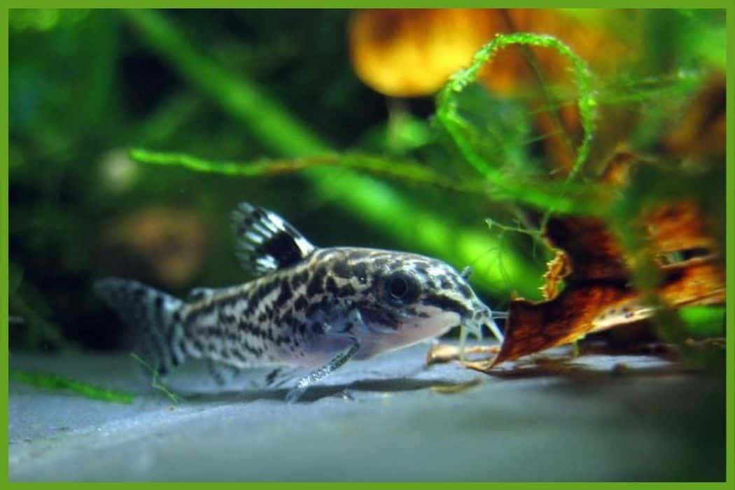 Catfish for Self-Sustaining Aquarium