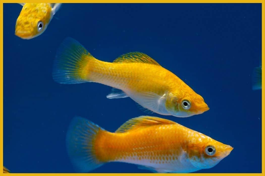 Mollies for Self-Sustaining Aquarium