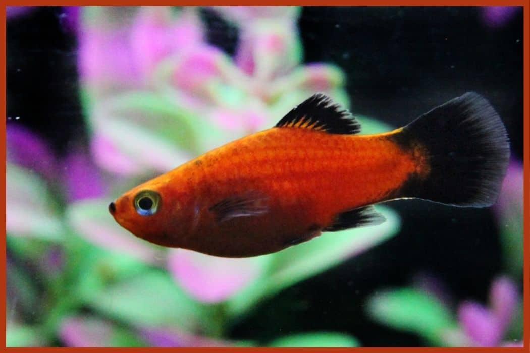 Platies for Self-Sustaining Aquarium