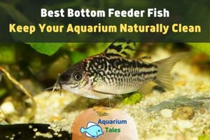 Best Bottom Feeder Fish by Aquarium Tales
