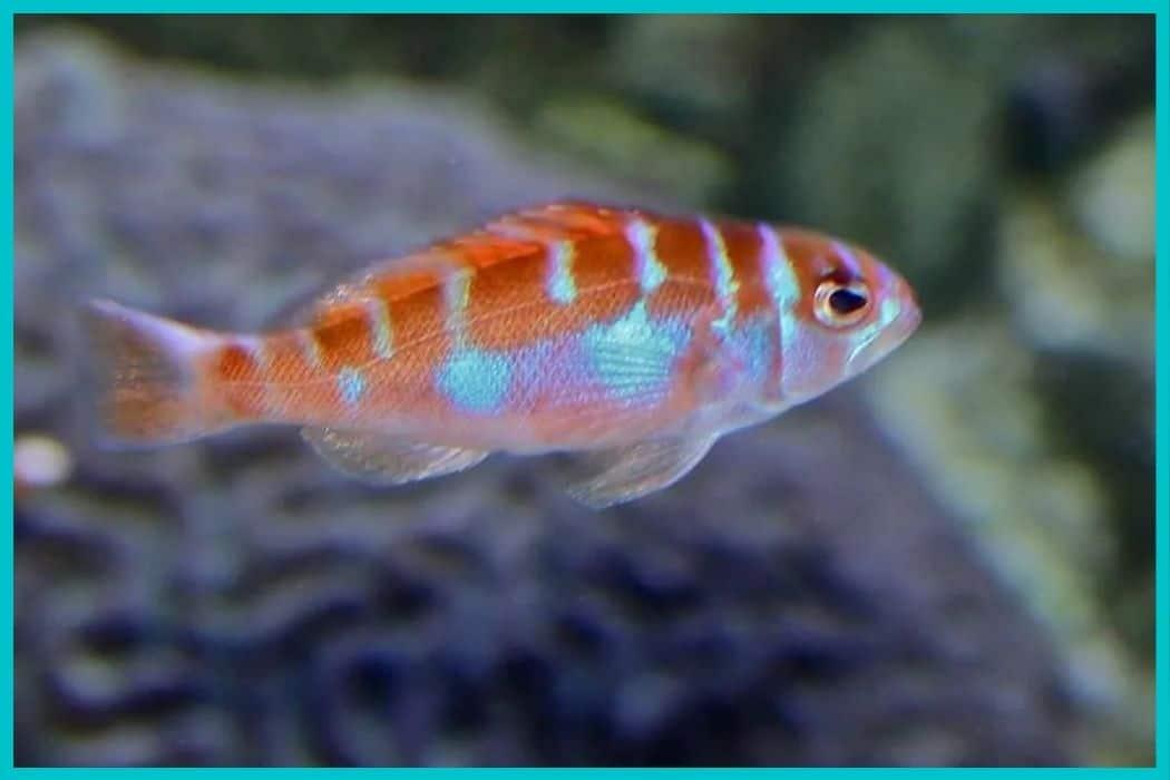 Chalk Bass in saltwater aquarium