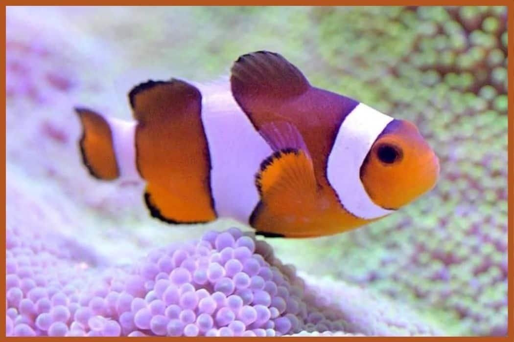 Clown fish in saltwater aquarium