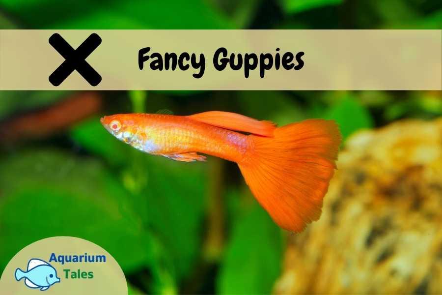 Fancy Guppies - Beginners Should Avoid