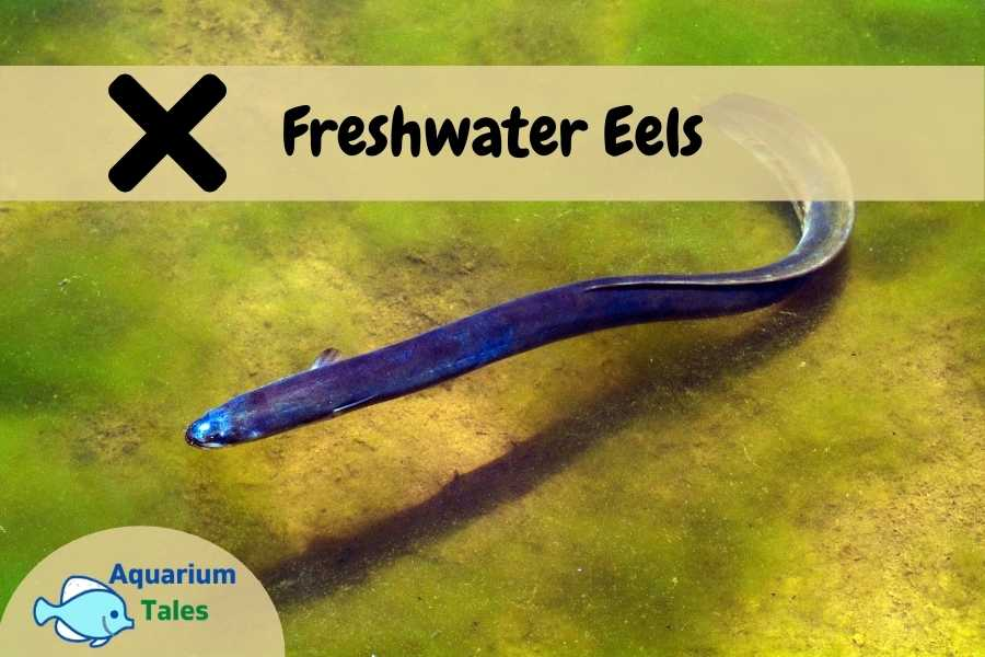 Freshwater EEL - Beginners Should Avoid
