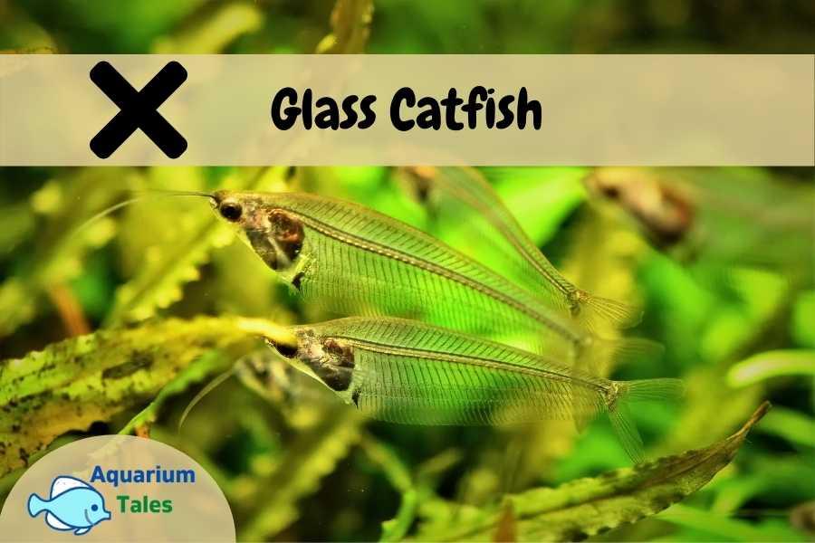 Glass Catfish - Beginners Should Avoid