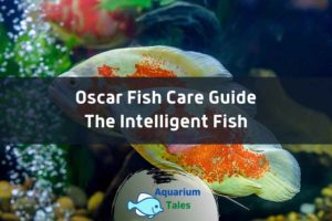 Oscar Fish Care Guide by Aquarium Tales