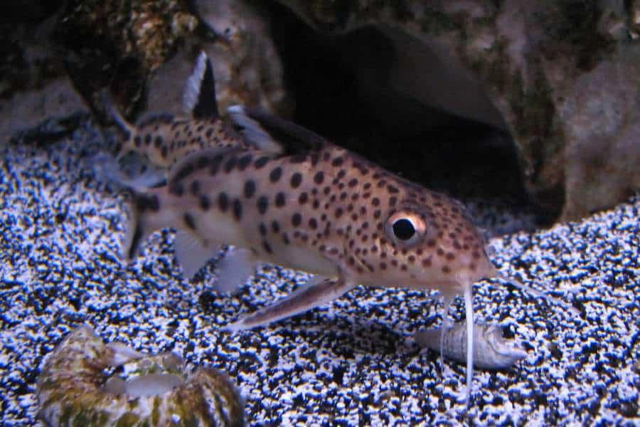 Synodontis Catfish