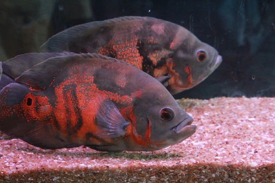 Tiger Oscar Fish Care
