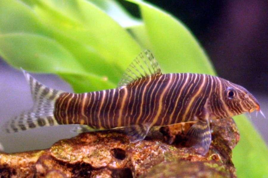 Zebra Loach (Botia_striata)