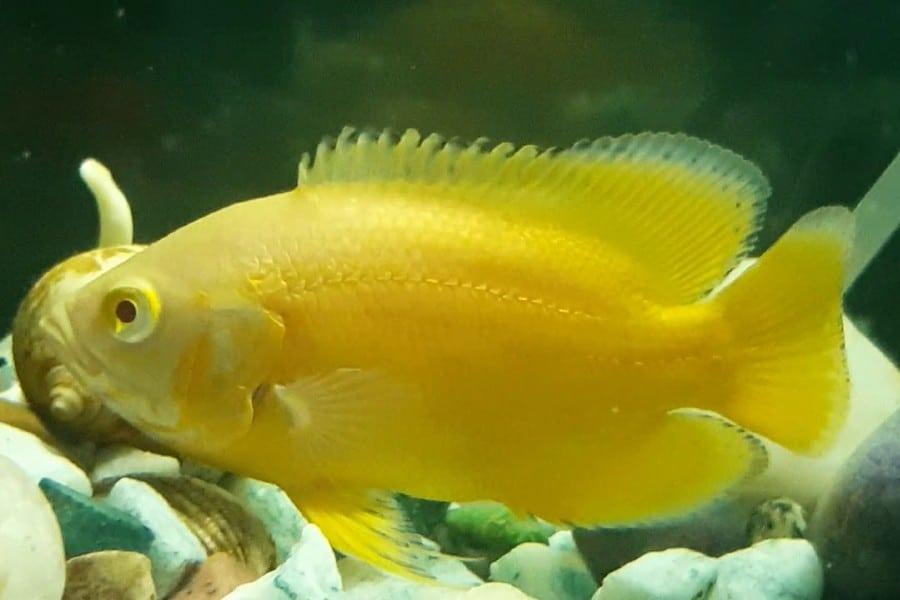 lemon oscar fish