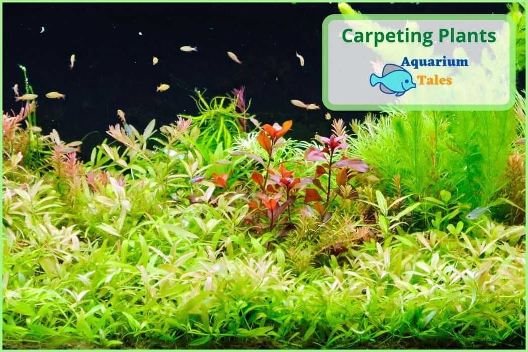 How to plant Carpeting Plants in Fish Tanks