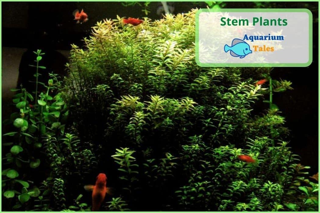 How to plant Stem Plants in aquariums