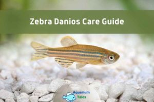 Zebra Danios Care Guide by Aquarium Tales