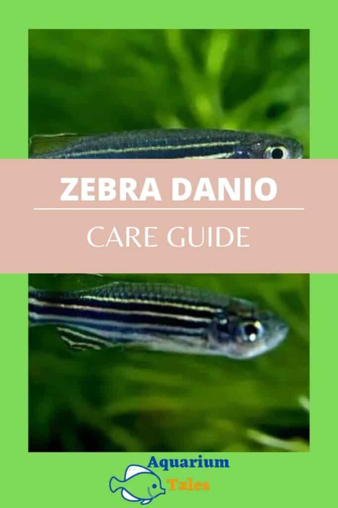 Zebra Danios Care Guide for you