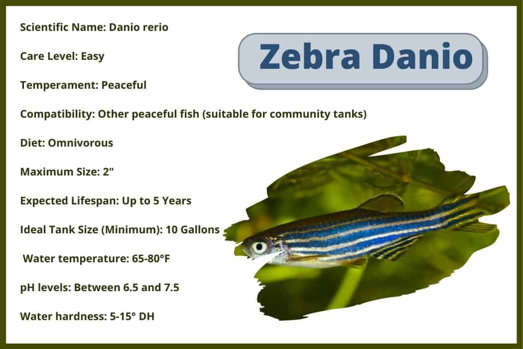 zebra Danio Care sheet