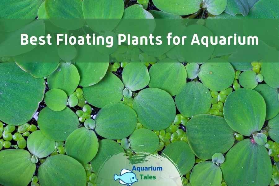 Best Floating Plants for Aquarium by Aquarium Tales