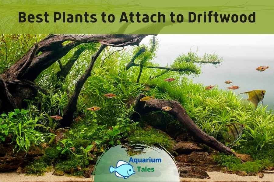 Best Plants to Attach to Driftwood by Aquarium Tales