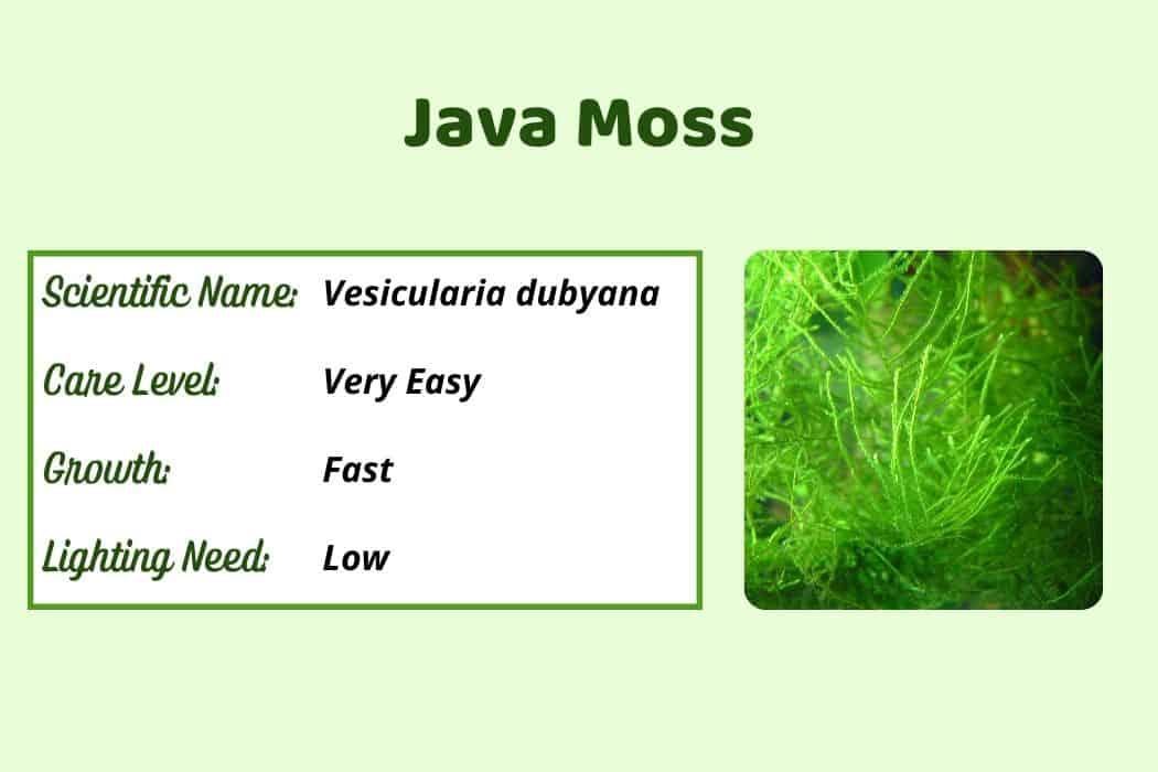 Java Mosses