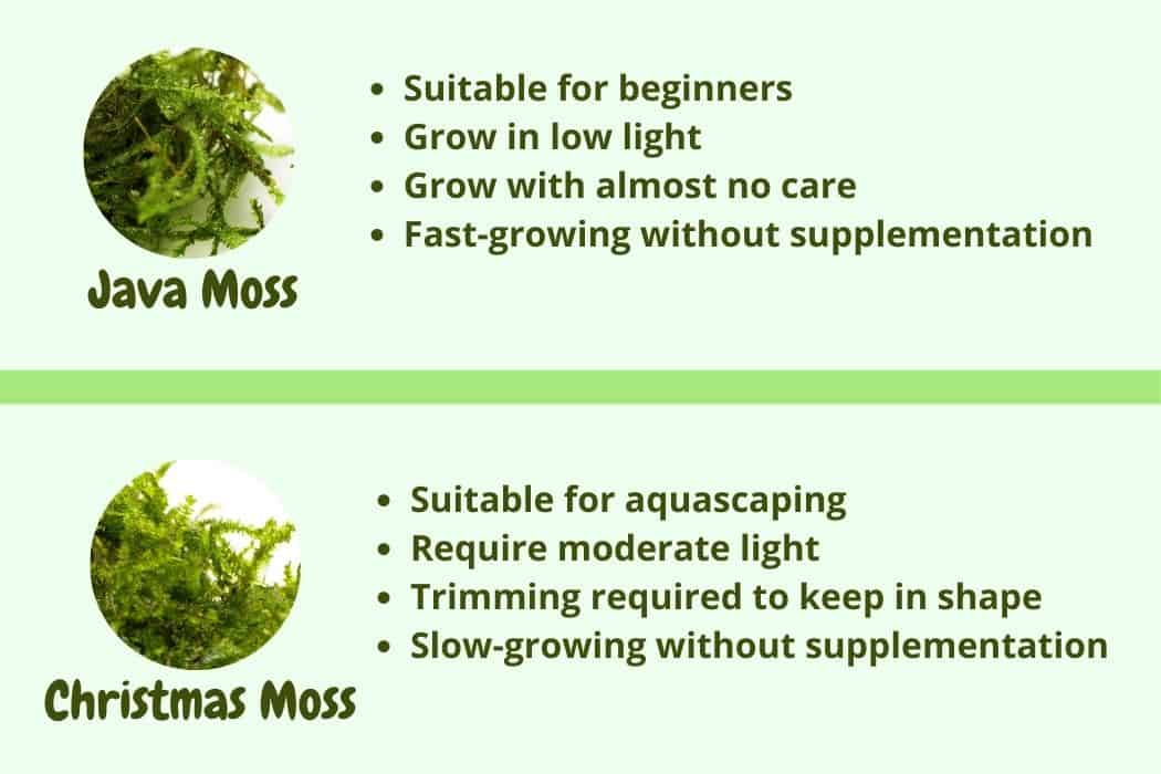 java moss vs Christmas moss comparison
