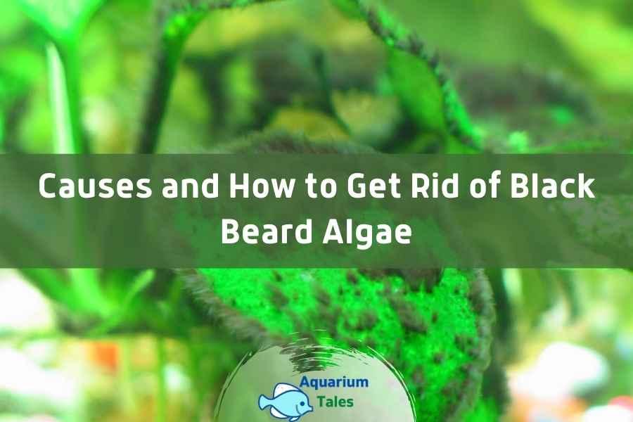 Causes and How to Get Rid of Black Beard Algae by Aquarium Tales