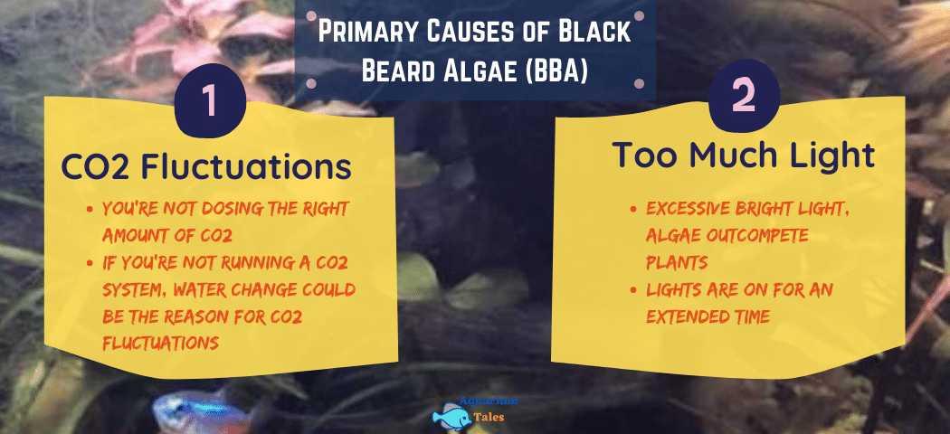 Causes of Black Beard Algae - Aquarium Tales