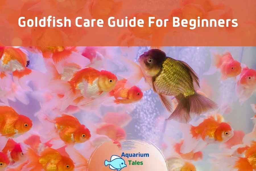 Goldfish Care Guide For Beginners by Aquarium Tales