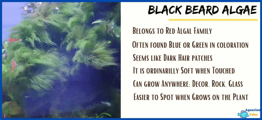 How to Identify Black Beard Algae