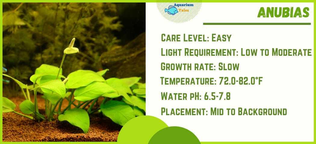 Ideal Parameters for Anubias aquarium plant Care