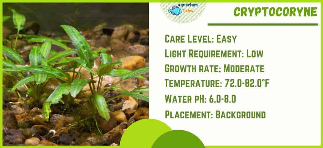 Ideal Parameters for Cryptocoryne aquarium plant Care