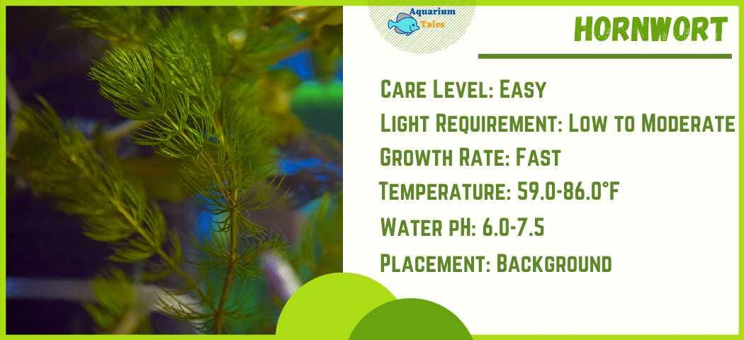 Ideal Parameters for Hornwort aquarium plant Care