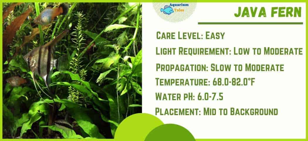 Ideal Parameters for Java Fern aquarium plant Care