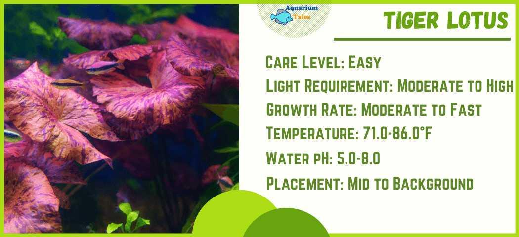 Ideal Parameters for Tiger Lotus aquarium plant Care