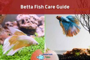 Betta Fish Care Guide by Aquarium Tales