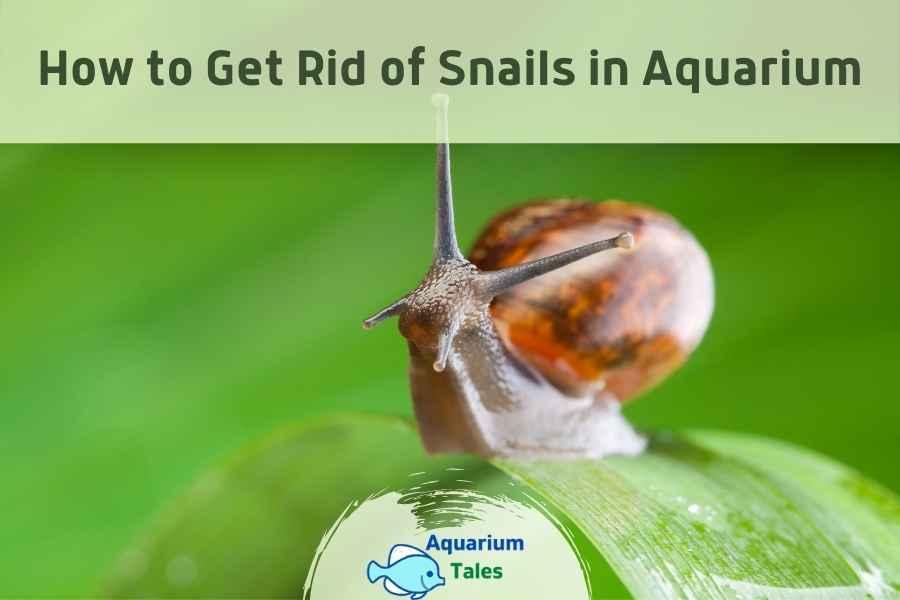 Get Rid of Snails in Aquarium by Aquarium Tales