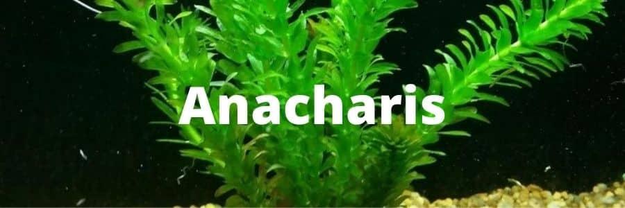 Anacharis
