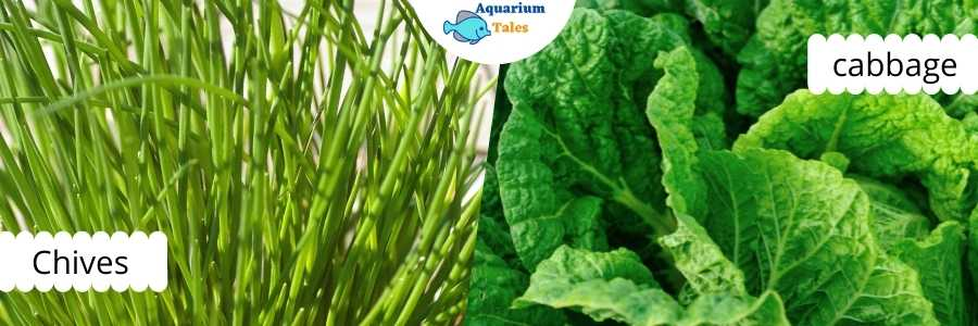 Chives and Cabbage for Raft System Aquaponics