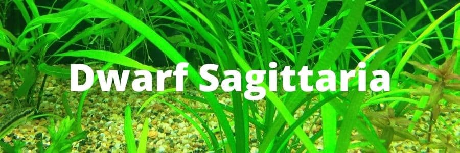Dwarf Sagittaria