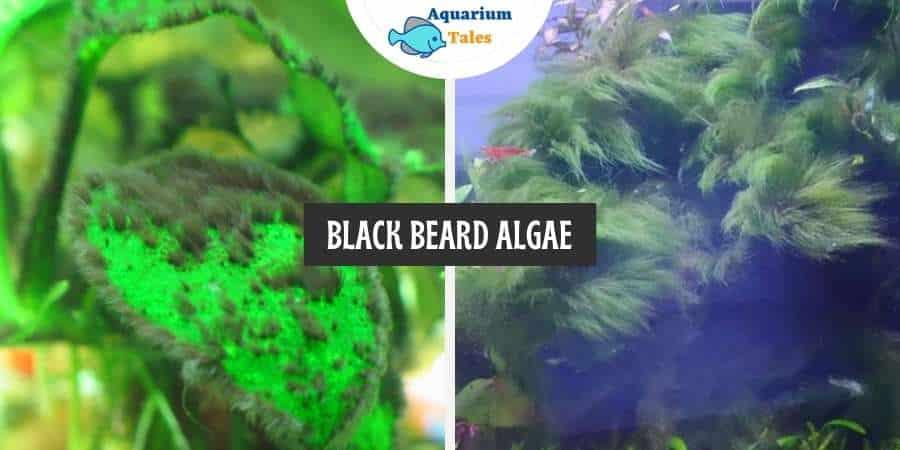 Black Beard Algae