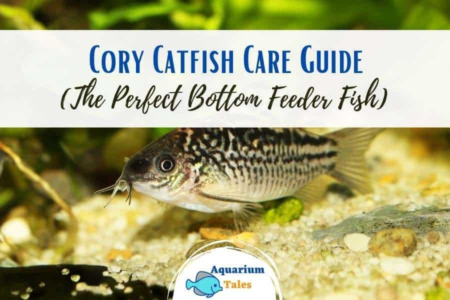 Cory Catfish Care Guide