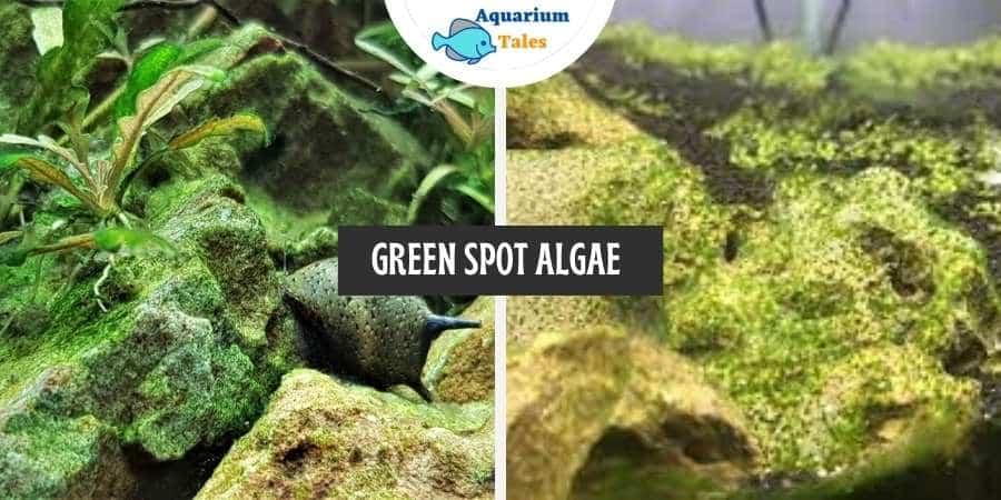 Green Spot Algae