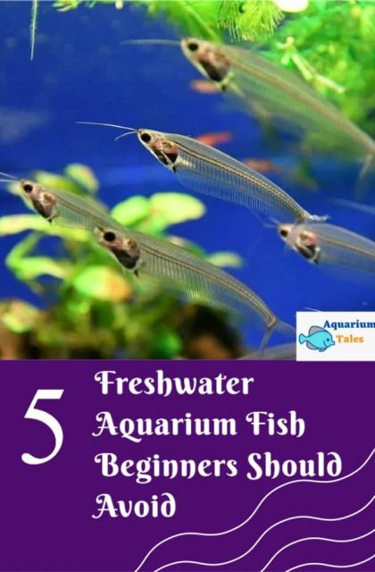 5 freshwater aquarium fish beginners should avoid