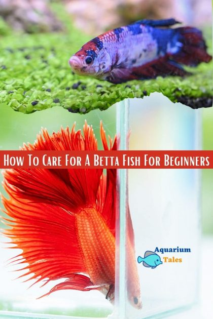 Betta Fish Care Guide How To Care For A Betta Fish For Beginners