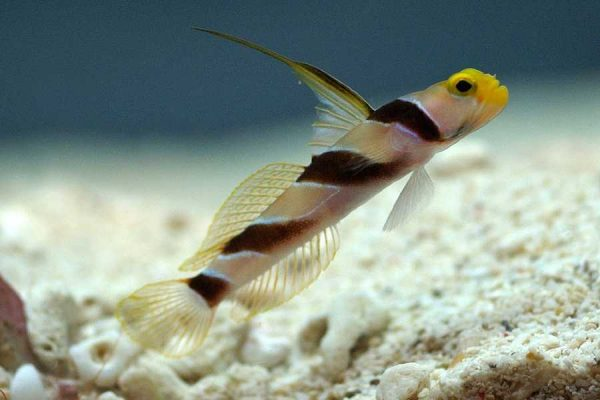Black-ray Goby
