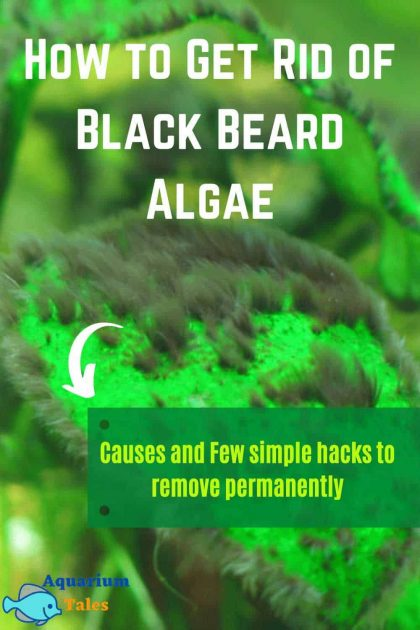 How to Get Rid of Black Beard Algae (Causes and Few Simple Hacks to Remove Permanently)