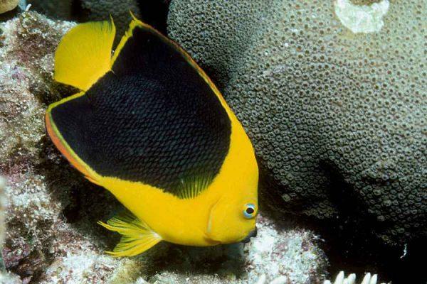 Rock beauty aquarium Tales
