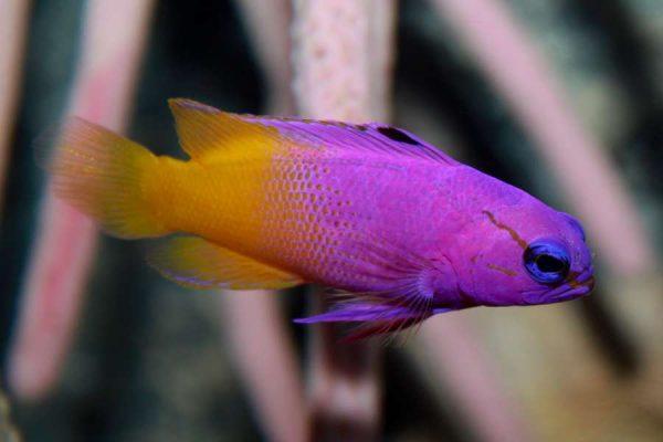 Royal gramma Aquarium Tales