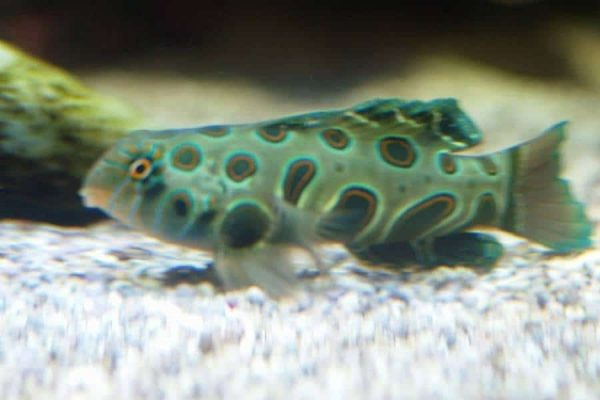 Spotted Mandarin fish