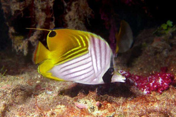 Threadfin_Butterfly_Fish aquarium Tales