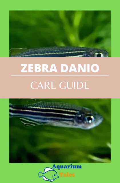 Zebra Danios Care Guide for you